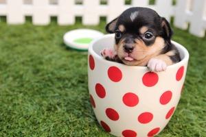 die hundezeitung news nachrichten meldungen hunde chihuahua welpe
