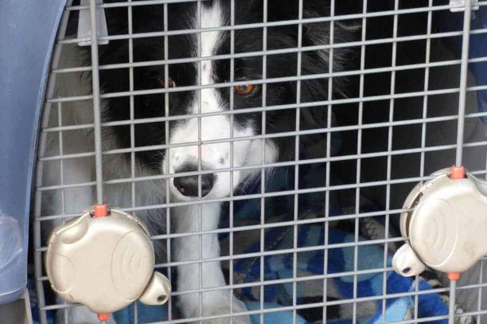 hundebox hund box auto sicherheit border collie