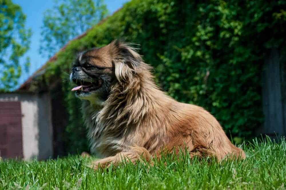 pekingese pekinese hund begleithund kleine hunderasse