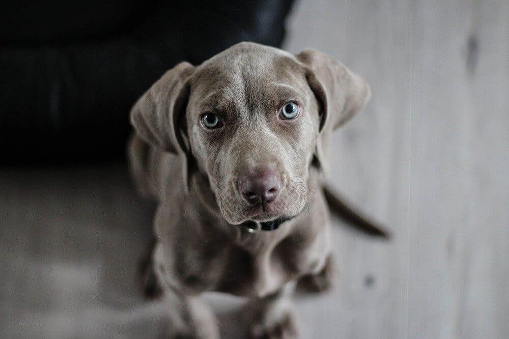 welcher hund passt zu mir hunderasse jagdhund weimaraner welpe