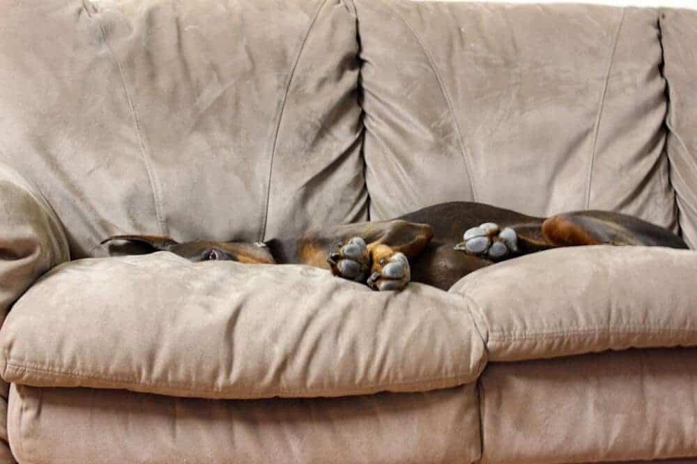 welcher hund passt zu mir wohnung hunderasse hund doberman couch