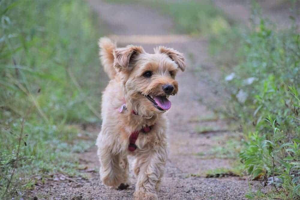 yorkshire terrier yorkie hund begleithund hunderasse