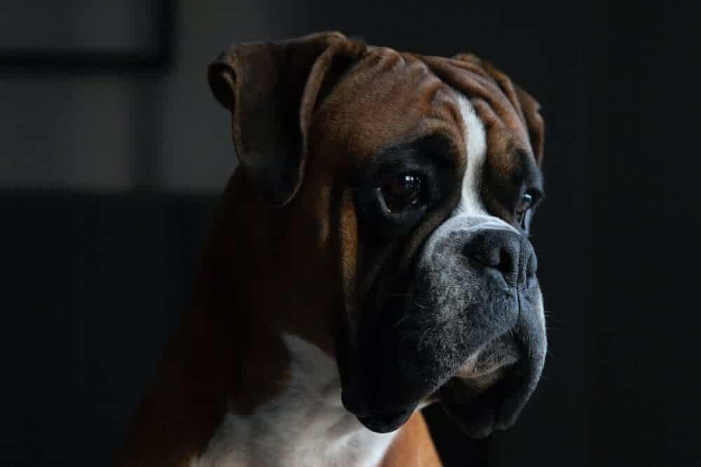 boxerhund deutscher boxer hunderasse beschreibung charakter
