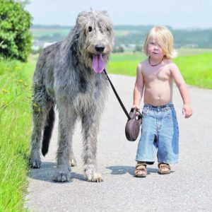 hunderasse irischer wolfshund kind