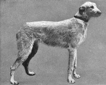 irischer wolfshund herkunft geschichte hunde rasse