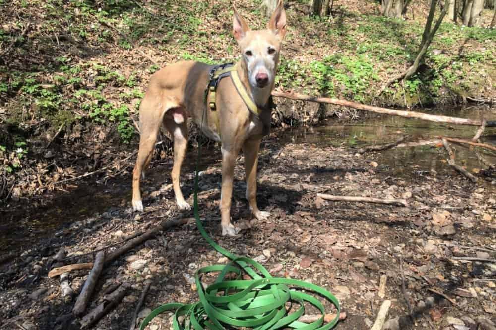 PAWSOME Schleppleine test die hundezeitung windhund podenco
