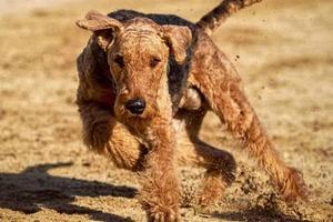 anti jagd training hund tipps erziehung jagdhund airdale terrier