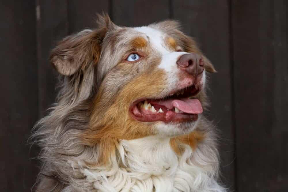 Australian Shepherd Hunderasse Aussehen Charakter