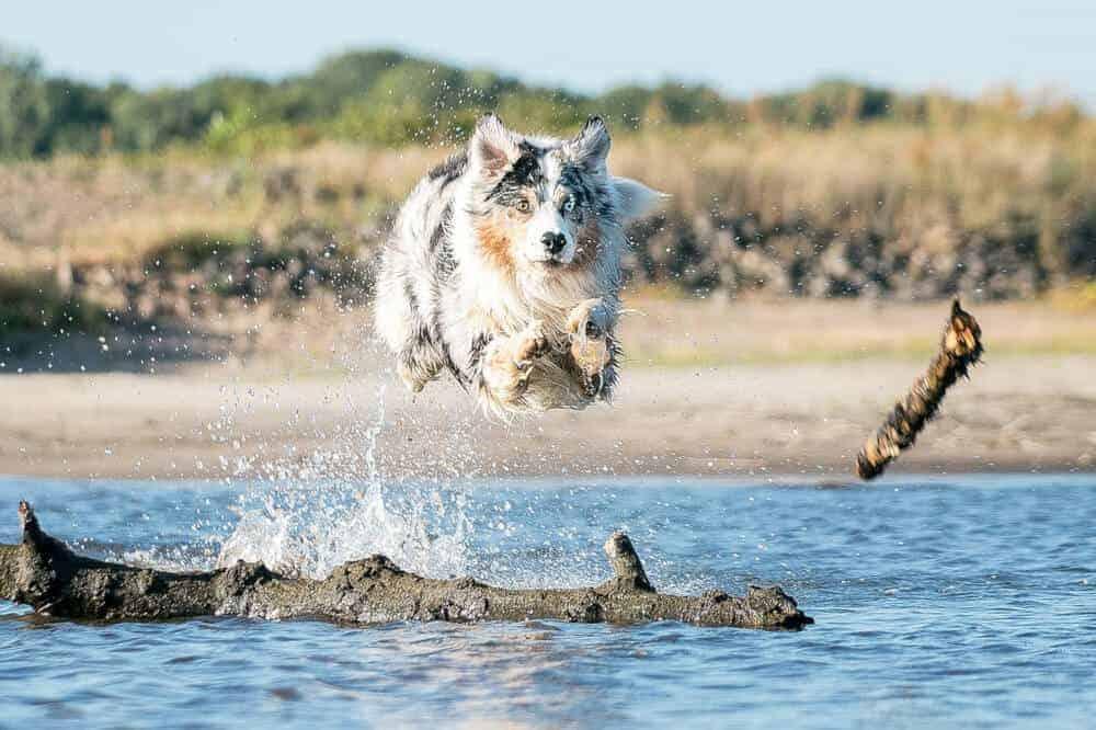 ein erwachsener australian shepherd in blue merle springt über einen großen ast im wasser