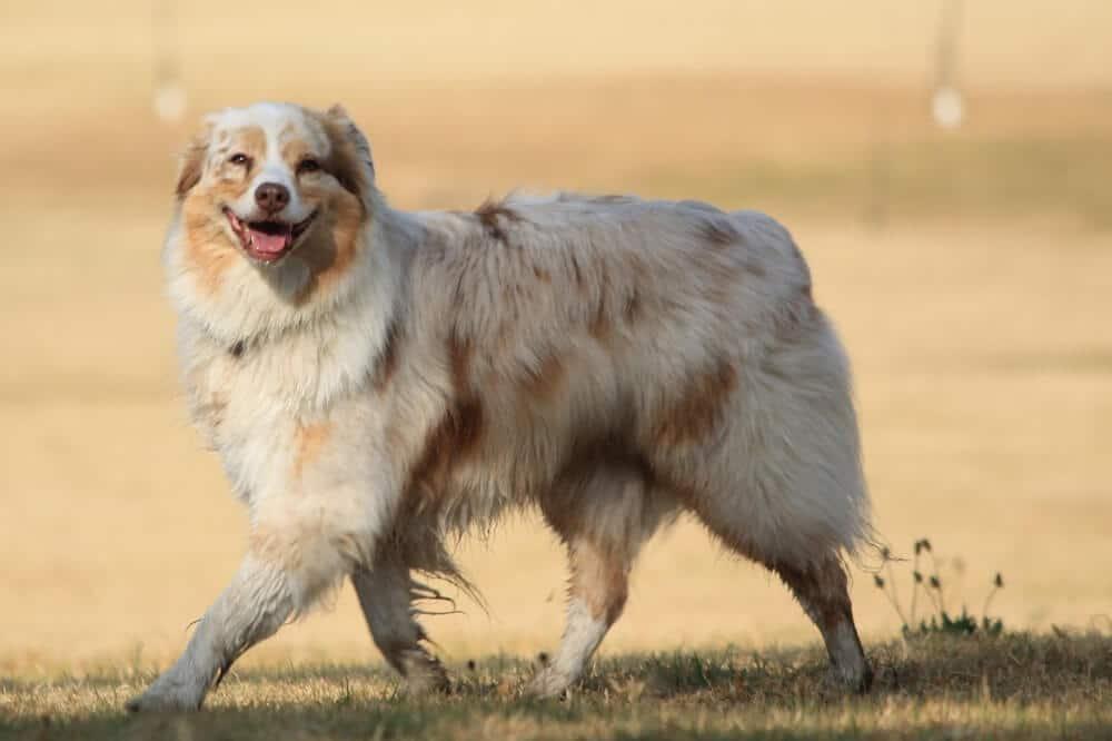 ein sehr weißer australian shepherd mit wenigen braunen flecken läuft im trab und lächelt