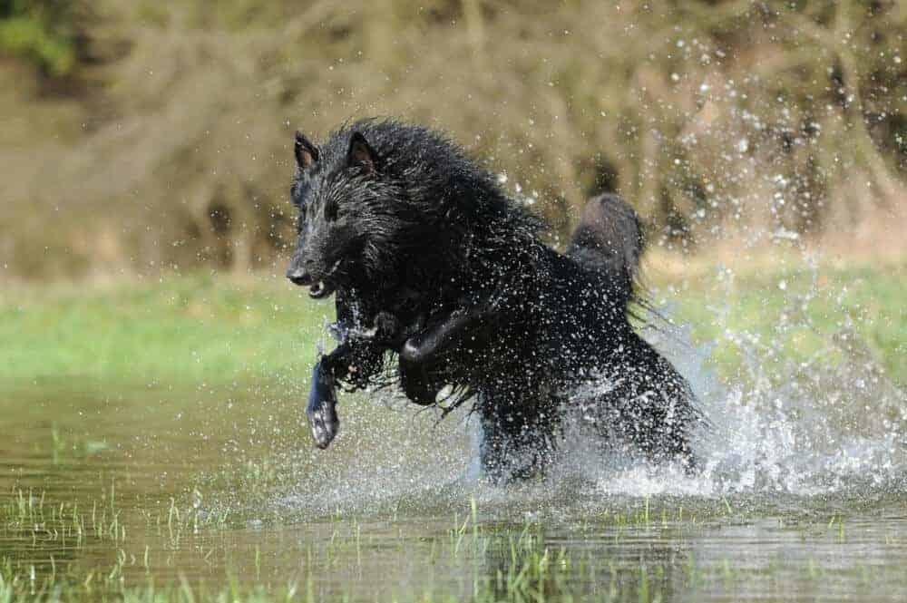 belgischer schaeferhund schwarz wasser spielen