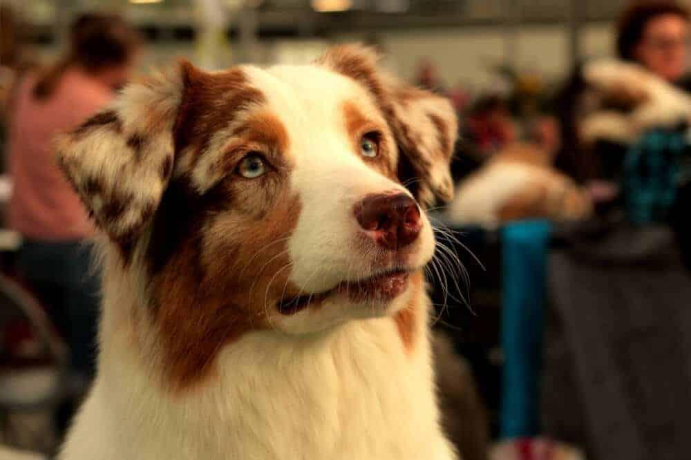 junger australian shepherd junghund schaut in die kamera