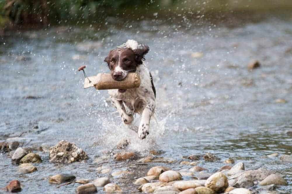 muensterlaender jagd hund dummy training wasser
