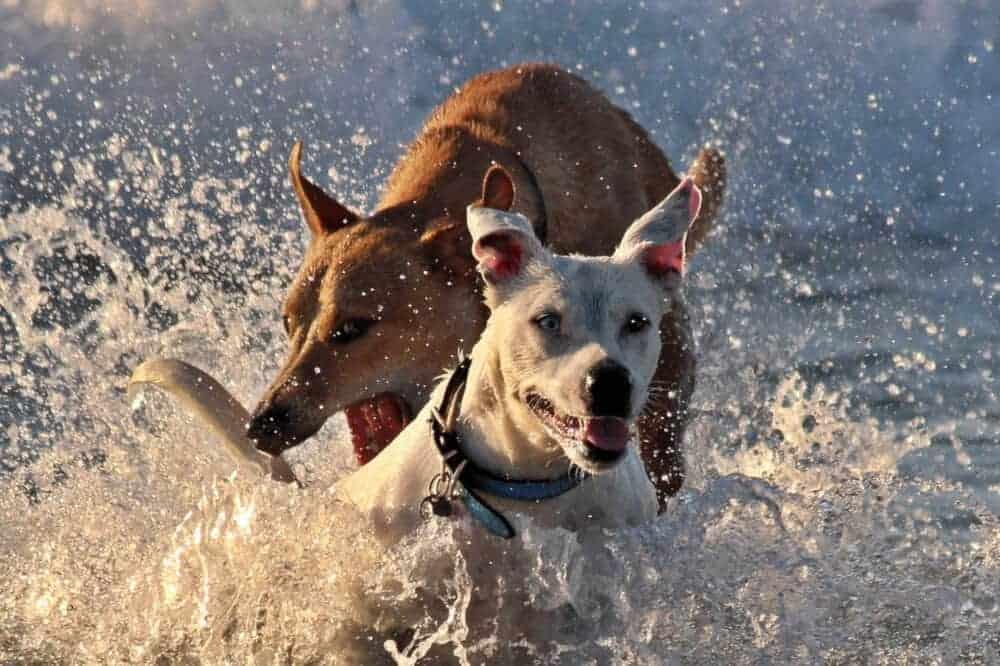 sommer hunde spielen wasser baden