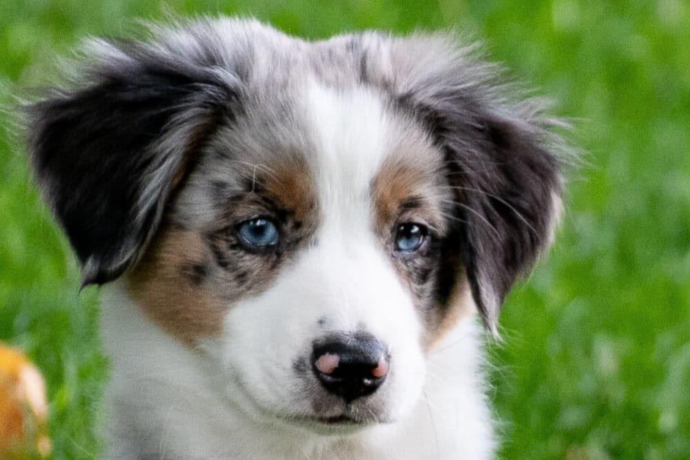australian shepherd welpe merle junghund hund aussehen blaue augen