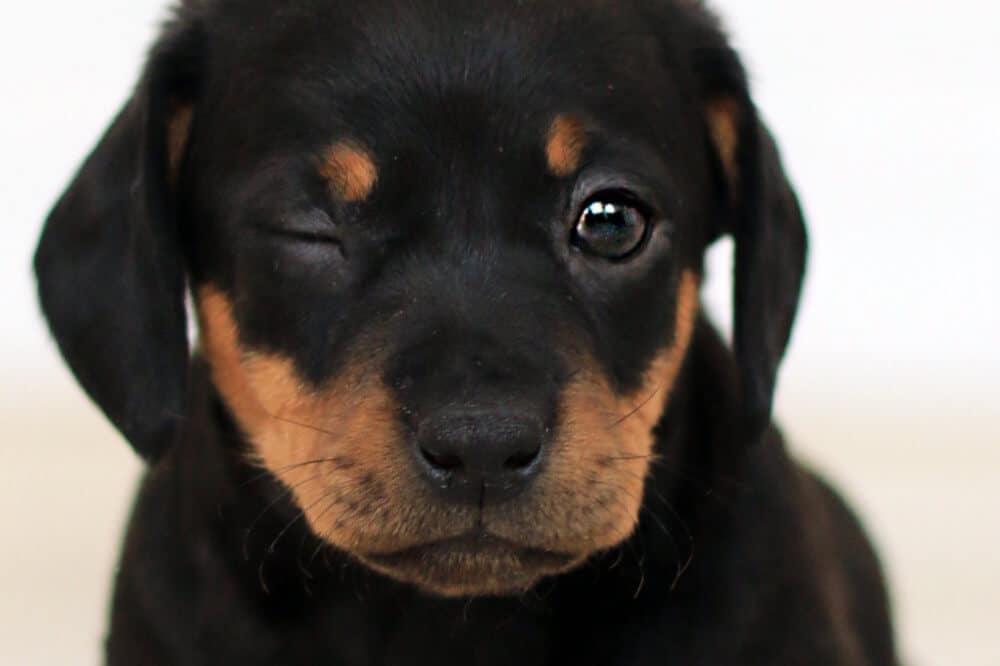 dackel dachshund teckel welpe hundebaby hund junghund aussehen