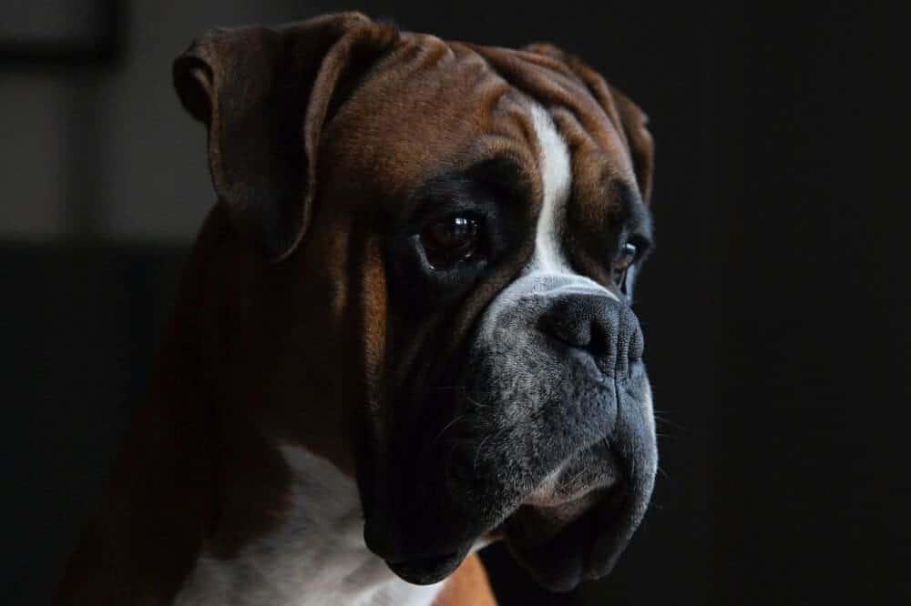 deutscher boxer hund hundeaugen hundeblick