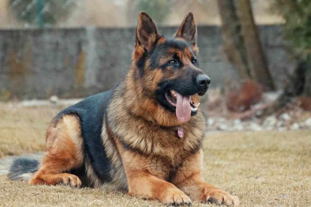 deutscher schäferhund liegend rüde hündin hund männlich weiblich geschlecht