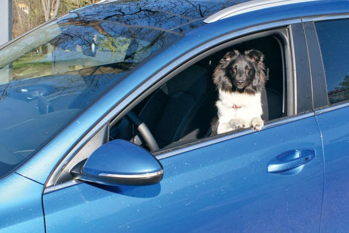 kia ceed sportswagon test hund auto sheltie shetland sheep dog
