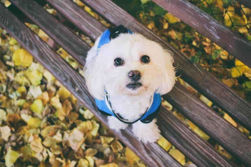 malteser hund mit blauer weste sitzt auf einer parkbank, gelbe laubblätter sind darunter zu sehen
