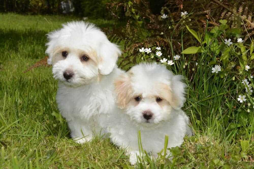 malteser hunde rasse beschreibung aussehen klein weiss