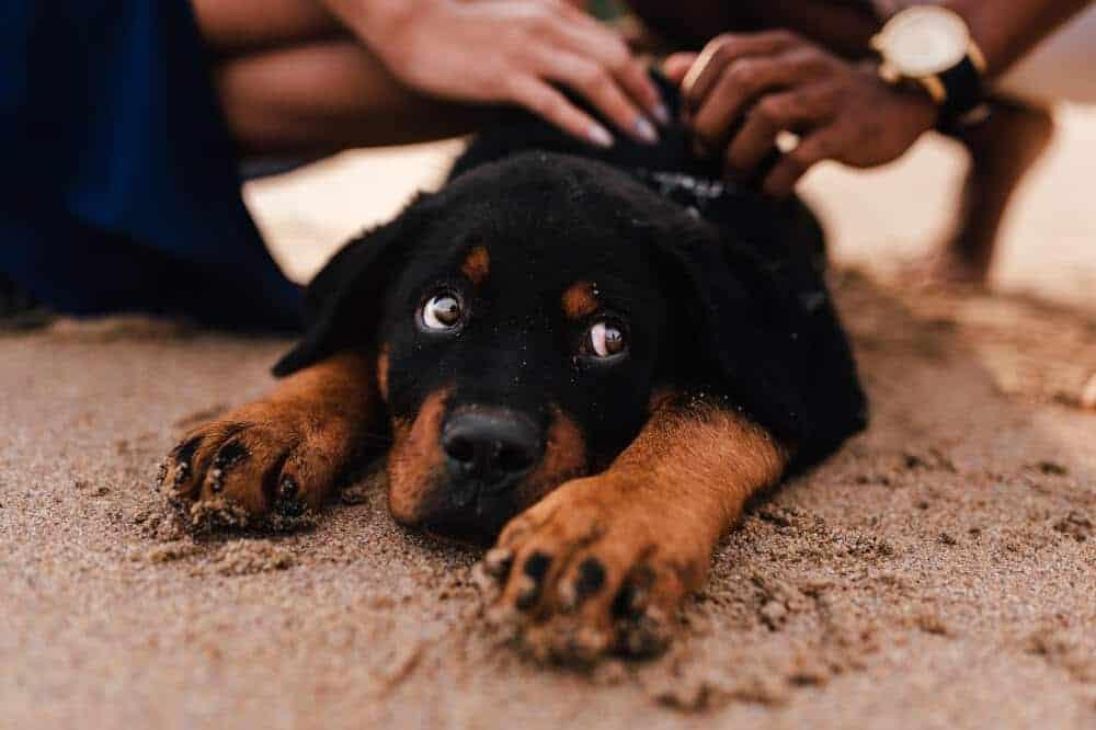 rottweiler welpe hundebaby aussehen blick hund liegend