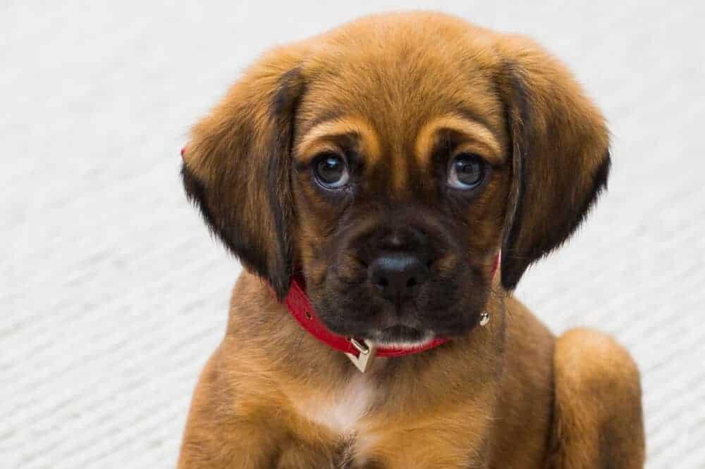 welpe hundekind junghund hundeblick hundeaugen
