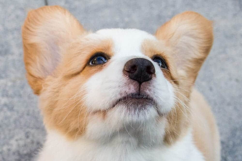 welsh corgi pembroke hund welpe aussehen