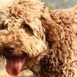 allergikerfreundliche hunde allergie hundehaarallergie tierhaarallergie hundeallergie lagotto romagnolo