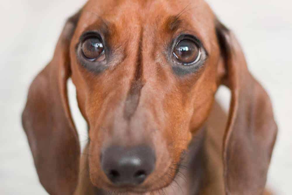 dackel dachshund kurzhaar braun hund rasse körpersprache quiz