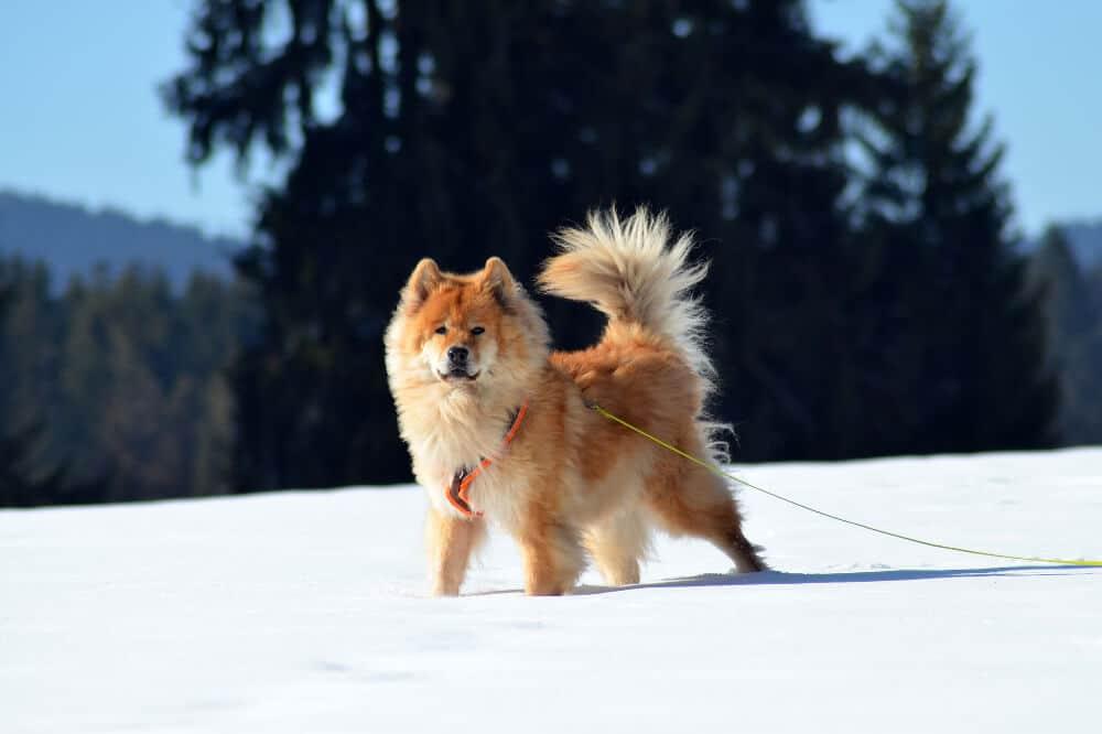 eurasier hund rasse hunderasse beige im schnee