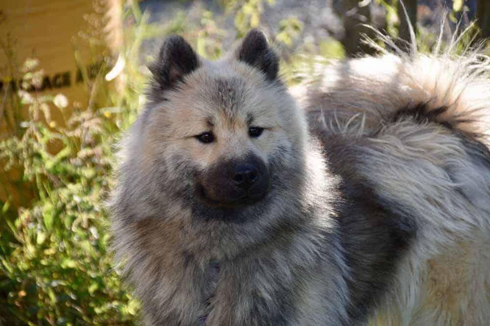 eurasier hund rasse hunderasse schwarze schnauze