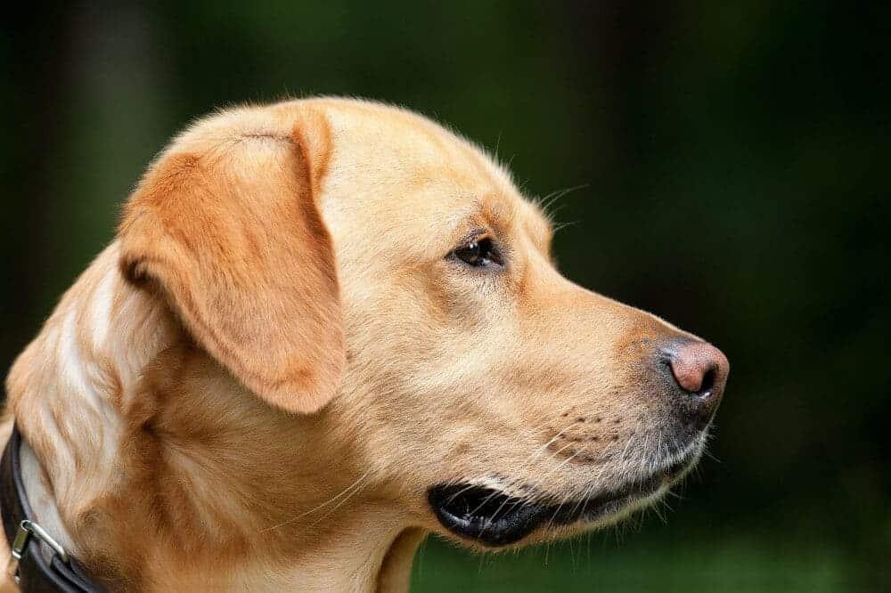 labrador retriever hell braun hund rasse quiz koerpersprache