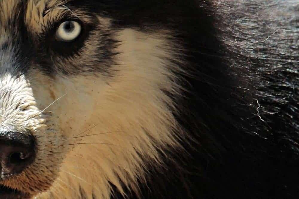 sibirian husky sibirischer hund rasse schlittenhund augen blick körpersprache quiz