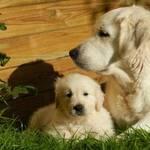 welpenschutz welpe hundemutter golden retriever liegend wiese