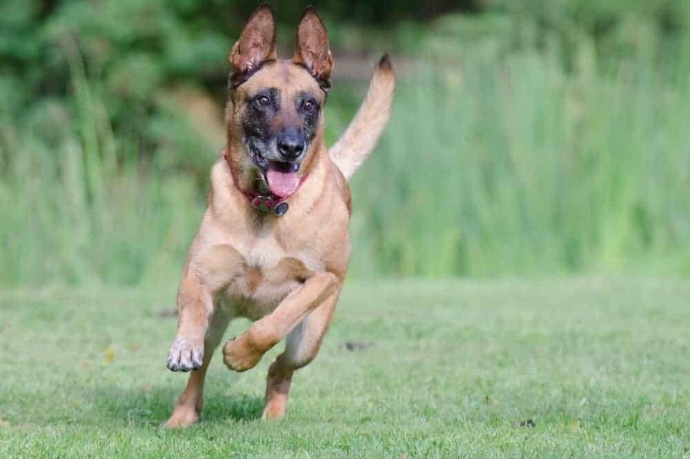 belgischer schaeferhund malinois hund rasse hundesportarten gebrauchshundesport