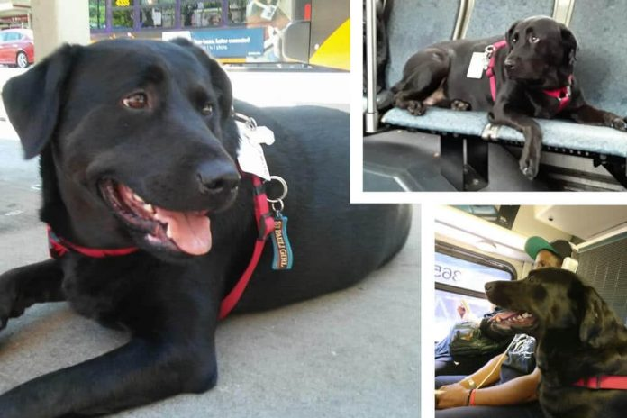eclipse seattle bus dog hund schwarzer labrador mischling black dog