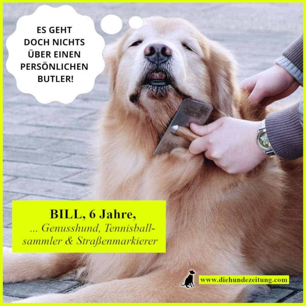 lustige sprüche hunde die hundezeitung golden retriever fell buersten unterwolle