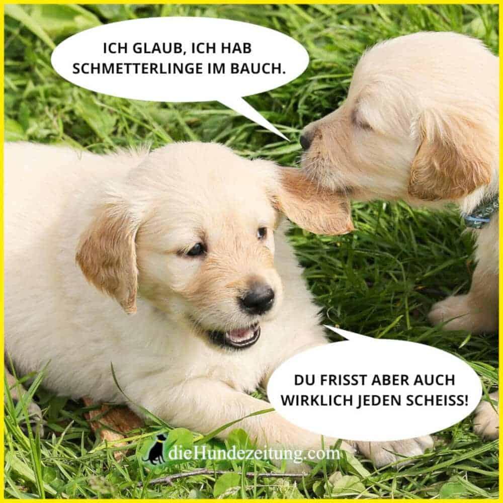 lustige sprüche hunde die hundezeitung golden retriever welpen fressen