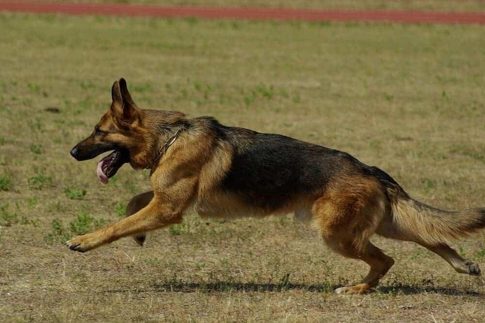 Deutscher Schäferhund mit kurzem Fell sprintet über eine Wiese