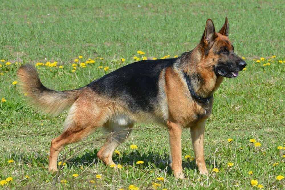 Deutscher Schäferhund steht im Gras und visiert konzentriert ein Ziel in der Ferne an.