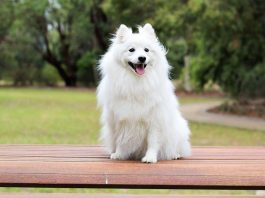 spitz hund rasse dog breed fci