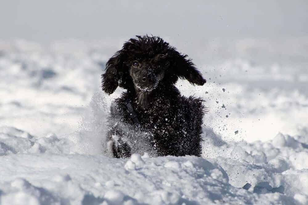 zwergpudel hund rasse pudel hunde locken klein poodle