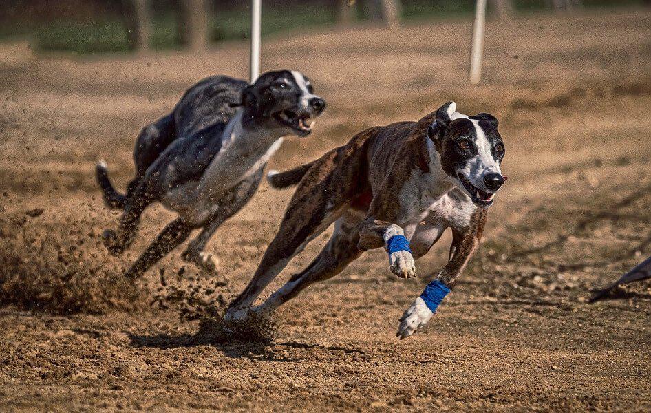 1 greyhound hund hunderasse schnellste