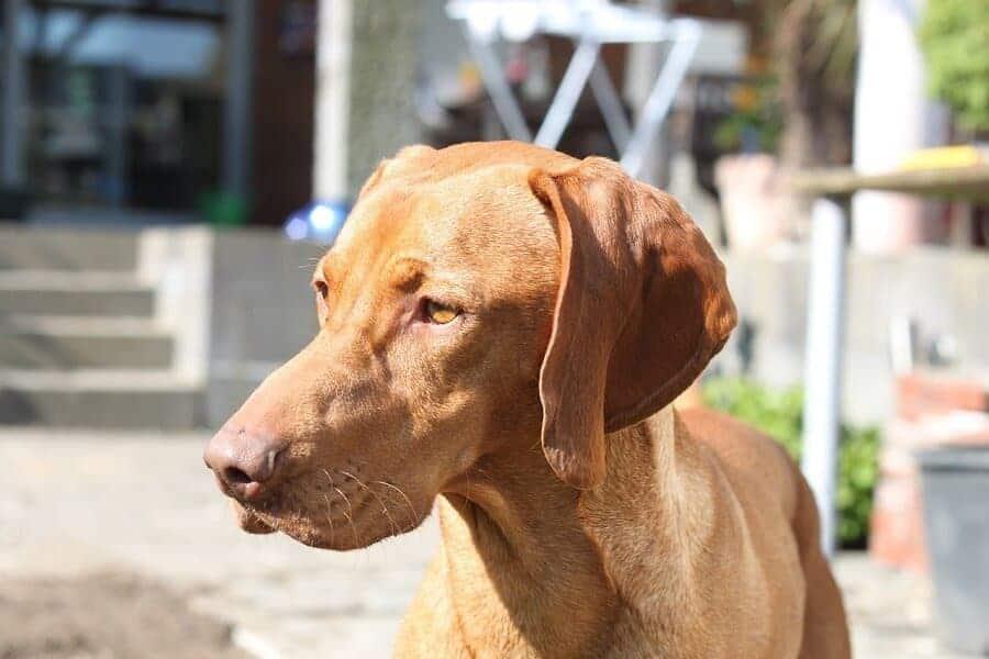 ein kurhaariger magyar vizsla ein ungarischer vorstehhund steht auf der terrasse eines hauses