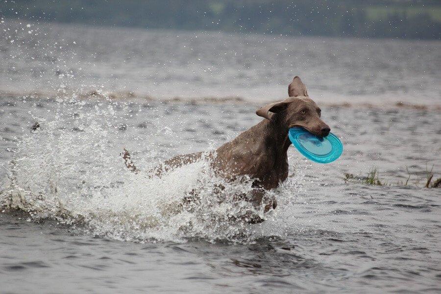 5 weimaraner hund hunderasse schnellste