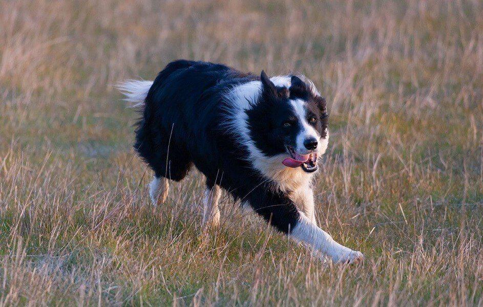 8 border collie hund hunderasse schnellste
