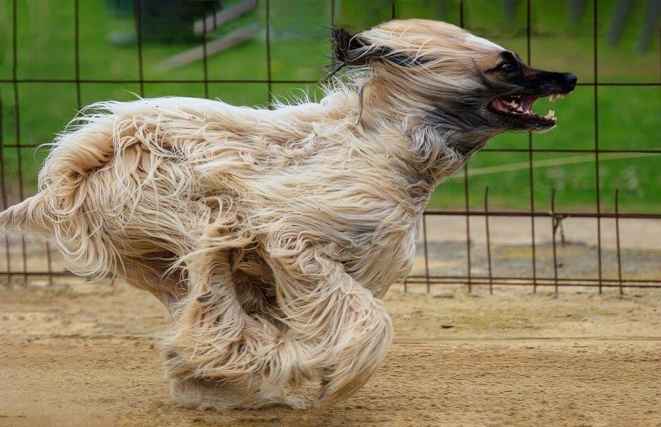 aphgane hund hunderasse schnellste