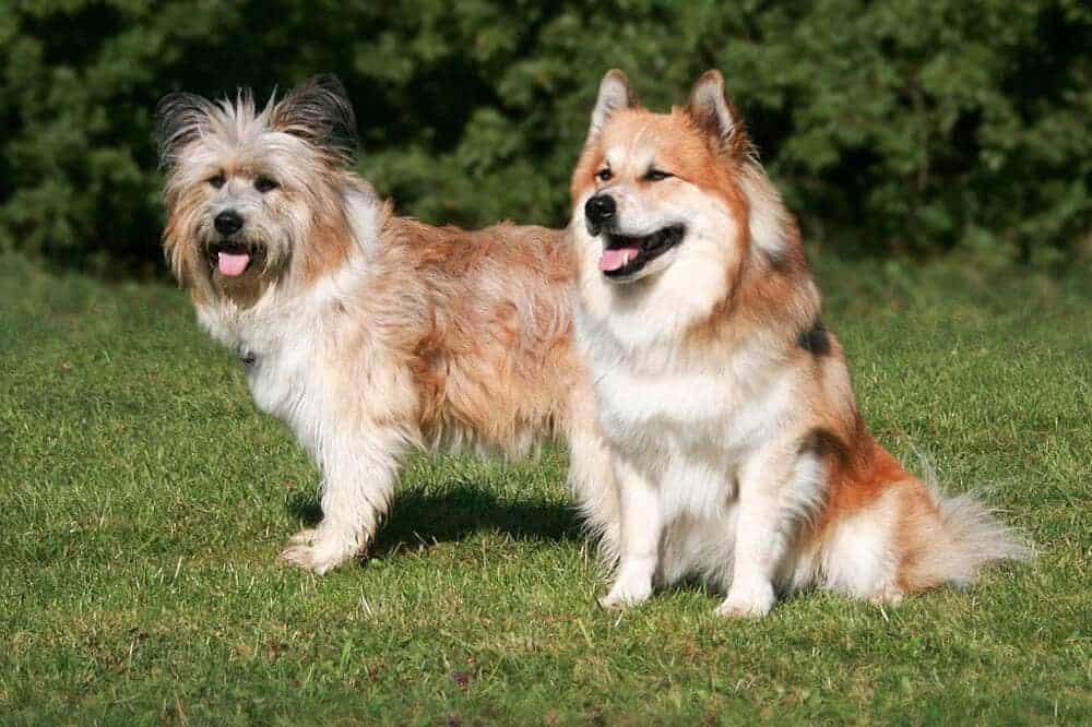 elo hund hunderasse rauhaar glatthaar