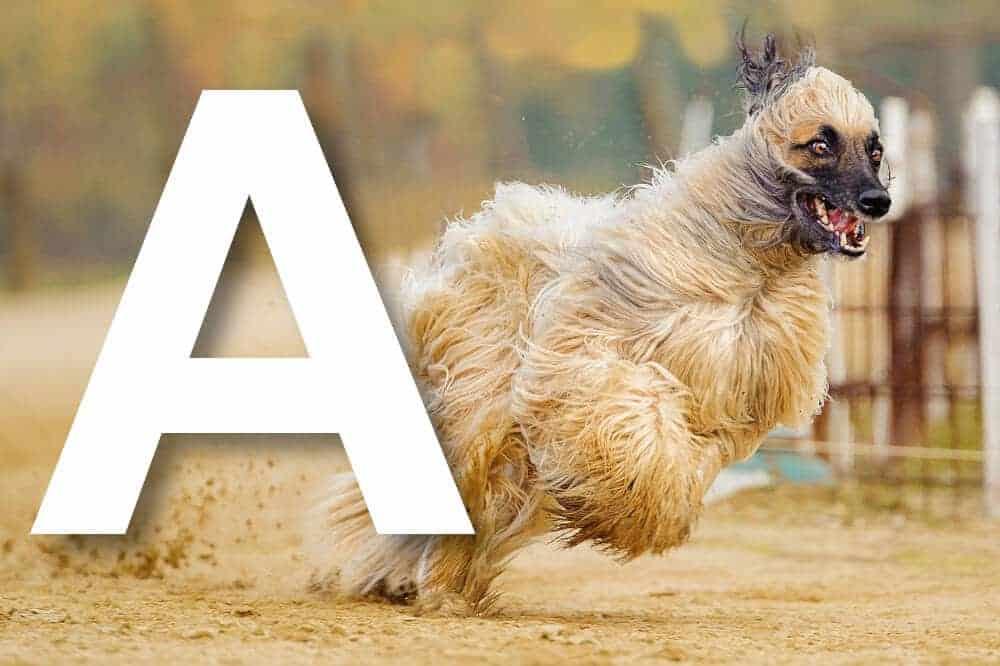 hunderassen mit a alphabetisch liste fci afghanischer windhund